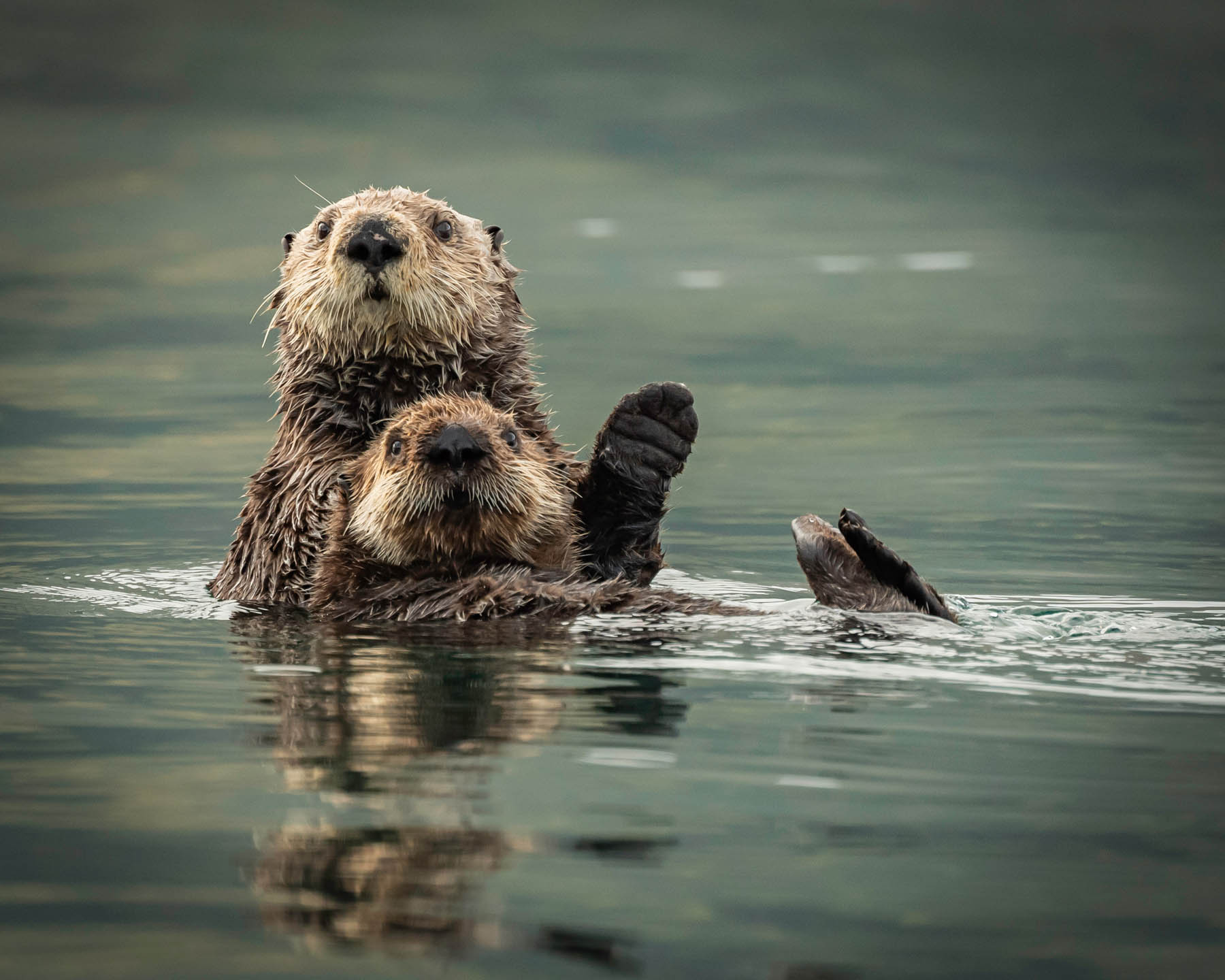 Two otters swimming.