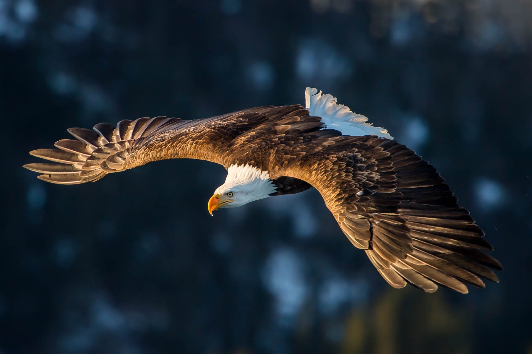 Bald eagle soaring.