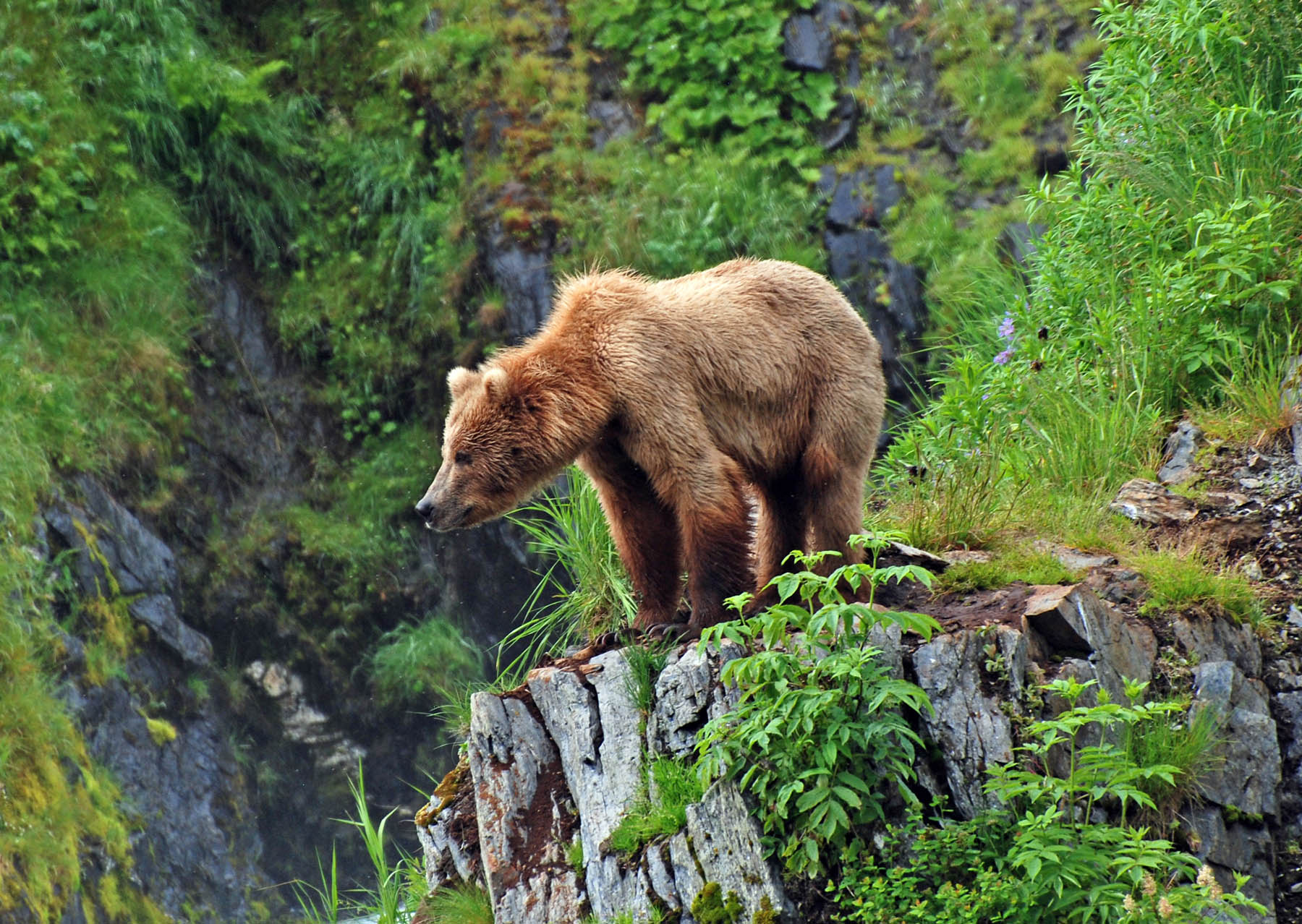 Kodiak brown bear standing on edge of rock.