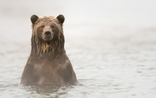 A beer pops her head out of the water during the best time to visit Alaska.